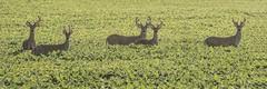 Well hello, boys! (Melinda G Pix) Tags: antlers animal nature fields rural wildlife whitetail buck deer