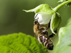 Bee on raspberry (piranhabros) Tags: insect garden raspberry flower macrophotography macro bee