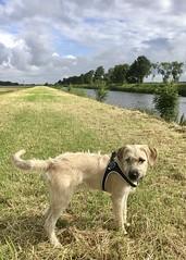 Dorus op de dijk (gwendolen) Tags: dorus smoushond hollandsesmoushond smous hond dog dike dijk westerwolde bltijdenskanaal dutchbreed dutchsmoushond