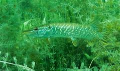 ASM Plongée, Brochet, Gravière du Fort - Site 4632.jpg (Hugues Brun) Tags: asmplongée site plongée gravièredufort animaux poissons brochet themes