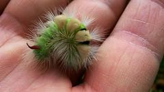 Punk thing (Hans & Liek) Tags: nederland netherlands biesbosch caterpillar rups paletussock meriansborstel