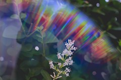 shining like a rainbow (ConcreteLies) Tags: rainbow flare nature flower plant green leaves