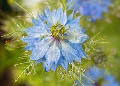 Nigella (mclcbooks) Tags: flower flowers floral macro closeup nigella loveinamist denverbotanicgardens colorado summer drops droplets dew water