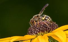 20170716-_Y4A4204 (digiphotonut) Tags: backyard blackeyedsusan edgewood insect kentucky macro wasp flower