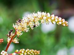 Aruncus aethusifolius; Rosaceae (1) (pflanzenflüsterer) Tags: rosaceae härlen stelle niedersachsen germany garten japan korea ostasien asien staude laubwerfend herbstfärbung weis 5petals white