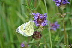 Green Veined White. (mcgrath.dominic) Tags: greenveinedwhite selfheal butterflies coclare