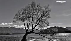19309458 The lone tree, Wanaka, NZ (jangurney) Tags: nikon d5500 kitlens wanaka lonetree southisland nz blackandwhite
