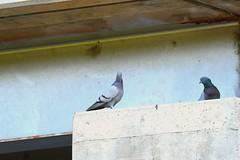 Rock Pigeons Englewood (eddyandtroymike@yahoo.com) Tags: colorado birds pigeons
