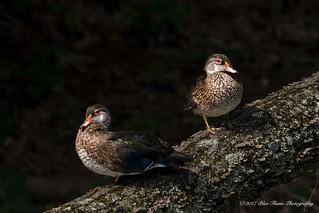 Ducks on a Log ©