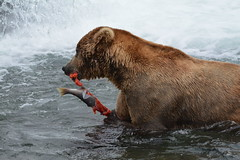 Otis (480) does lunch (raewynp) Tags: brooksfalls katmainationalpark katmai katmainp alaska brooksriver otis 480 bear brownbear ursusarctos boar salmon wildlife