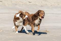 du machst mich verrückt - you drive me crazy (FotoHolst) Tags: spas fun 7dmark2 haustier baden action strand outdoor wasser dog sheperd australian canon fotoholst schwimmen hund