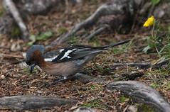 Nuziale (lincerosso) Tags: uccelli birds fringuello fringillacoelebs lagodiantorno misurina estate dolomiti abitonuziale bellezza armonia