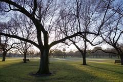 winter trees (bobarcpics) Tags: trees morningsunlight cliftonhill grass park innersuburbs winter