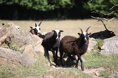 Jacob ewes and lambs (TamsinCooper@OrchardPigeon) Tags: sheep ewes lambs suffolk jacob