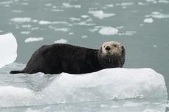 Sea Otter (Baractus) Tags: sea otter kenai fjords np alaska us john oates