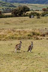 kangaroos; tidbinbilla (Seakayem) Tags: sony a99 slt fullframe minolta af 10mm f28 australia australiancapitalterritory tidbinbilla bush nature outback kangaroo kangaroos