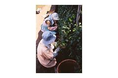 (Julie Stutzman) Tags: spring contaxt3 film analog fujifilm travel japan sayama greentea harvesting matcha farm asia