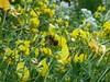 2017-07-19_08-21-24 (foggyknitter) Tags: bee minerbee birdsfoottrefoil