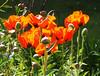 Frühling in NiederÖsterreich 2017 (arjuna_zbycho) Tags: wiosna frühling spring mak maki makpolny czerwonemaki kwiatypolne mohn mohnblumen coquelicots pavots popyflower popy klatschmohn papaverrhoeas mohnblume klatschrose cornpoppy cornrose fieldpoppy flanderspoppy redpoppy redweed közönségespipacs vetésipipacs papaverocomune rosolaccio gatunekleczniczy heilpflanze hausmittel kwiat blume flower fleur popies fleurs natur flora kwiaty blumen