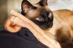 nina renkli (1 of 1).jpg (süleymanaltınkaya) Tags: cat turkey kedi türkiye olympus omd em 10 em10 mark ii 1240 mm