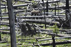 Grizzly cub known as Snow (V. C. Wald) Tags: grizzlybear ursusarctoshorribilis tamronsp150600f563divcusdg2 yellowstonenationalpark raspberry snow