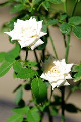 Innocence miniature rose (Niki Gunn) Tags: pentax k5 july 2017 rose plant flower tamron 90mm macro tamron90mmmacro tamronspaf90mmf28 tamron90mm tamron90mmf28