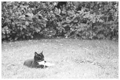 And Relax... (h_cowell) Tags: cat garden outdoors grass blur grain grainy film filmisnotdead filmphotography believeinfilm praktica pentacon hp5 analogue