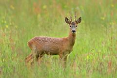Roebuck (Alan MacKenzie) Tags: roedeer antlers wildlife nature sussex animal summer