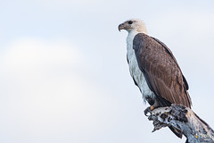 Sea Eagle 200B4033 WEB (Firefly Photos Australia) Tags: kakadu northernterritory australia australianwildlife fireflyphotosaustralia nature seaeagle birds australianbird