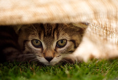 'Naughty Bungie' (Jonathan Casey) Tags: nikon 105mm d810 f28 vr catchums cat chums kitten rescue norfolk tabby