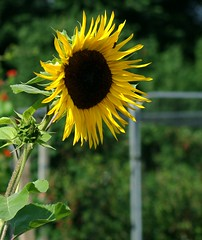 Sunflower (sardinista) Tags: cheltenham july 2017