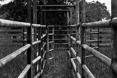 Beef Like Me (gendarme02) Tags: outside summer 2017 june d7100 farmimplementoutdoor nikon cattle pens stockpen nikond7100 ranch texas chute working