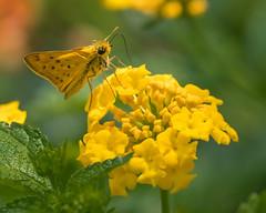 Fiery Skipper (Hylephila phyleus) (Jose Matutina) Tags: butterfly california fieryskipper insect josematutina mirrorless nature orangecounty sel70300g skipper sonya6500 southerncalifornia wings