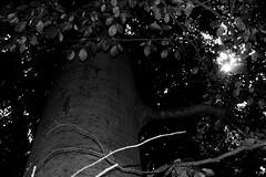 Tree 1 (Von Noorden her) Tags: lübeck waldhusen forst wood forrest baum bäume tree trees cascades landscape timber nature natur leaves leave blatt blätter äste branch branches schleswigholstein deutschland black white blackandwhite bw sw schwarzweiss colour summer spring sommer frühling herbst autumn moos moss landschaft oaktree oak shines