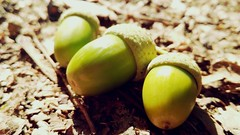 "MacroMondays: ""Three"" (Alessio Bertolone) Tags: three macromondays acorns ghiande macro bokeh clouseup primopiano"