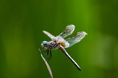 dragon_fly_lake_erie (rip_vanhalen) Tags: lake erie dragon fly