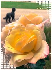 Del amor y la paciencia (mariadoloresacero) Tags: leaves feuilles hojas yellow jaune amarilla rosier rosal garden jardín poddle caniche dog chien perro rose rosa