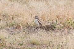 Burrowing Owl owlet at a distance