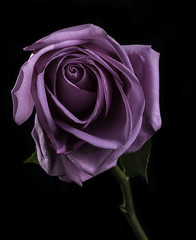 Purple Rose With Back Lighting (Bill Gracey 15 Million Views) Tags: rosa rose fleur flower flowers roguegrid blackbackground offcameraflash macrolens homestudio tabletopphotography nature naturalbeauty purple color colorful shapes textures sidelighting
