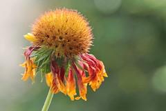 At the end of the day (zinnia2012) Tags: flower gaillardia blanketflower zinnia2012 fleur mybalcony macro