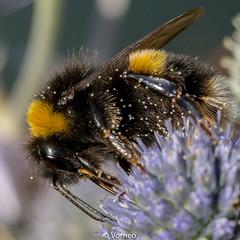 BuffTailedBumbleBee-0011.jpg (vorneo) Tags: bumblebee classinsecta kingdomanimalia bufftailedbumblebee orderhymenoptera wild familyapidae genusbombus phylumarthropoda insect speciesbterrestris subgenusbombus binomialnamebombusterrestris