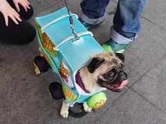 Pug fun (sqbdu1) Tags: sonya6500 dog pug