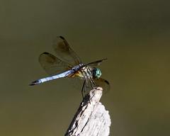 "Western Pondhawk (dcstep) Tags: n7a6403dxo aurora colorado unitedstates us handheld canon5dmkiv ef500mmf4lisii allrightsreserved copyright2017davidcstephens dxoopticspro114 ""cherry creek state park pond dragonfly westernpondhawk pondhawk"