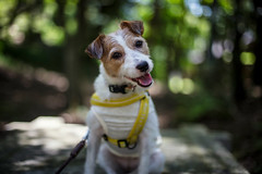 Smiling in the Forest (moaan) Tags: kobe hyogo japan jp sig jackrussellterrier kinoko portrait dogportrait smile smiling cameraeye forest green summer jully mtrokko ef50mmf14usm canoneos5dsr dof bokeh bokehphotography
