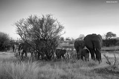 Elephant Herd (naturalturn) Tags: herd elephant river savanna infrared blackwhite blackandwhite khwai khwairiver botswana image:rating=5 image:id=206884