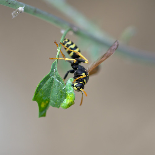 wasp and prey