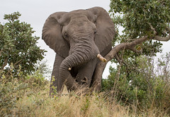 Elephant (dunderdan77) Tags: elephant ear tush trunk animal mammal huge big wildlife nature outdoor safari kruger national park south africa satara itch wonderful