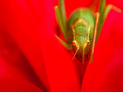 Stop-Go (Photography by Tosh) Tags: cricket insect d5200 garden macro martin nature nikon outdoors tosh uk