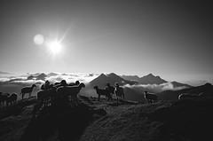 sunn is up ladies (Martin Ferschmann) Tags: sheep schafe sonne sonnenaufgang kreuzeck kärnten carinthia alpi peak gipfel summit dusk sunnrise sonnenaufgangn