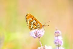 Melitaea deione (jotneb) Tags: natureza animais insectos vidaselvagem lepidoptera butterfly borboletas arlivre
